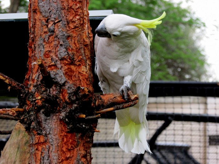 This White Cockatoo found something very interesting in the bark of this tree