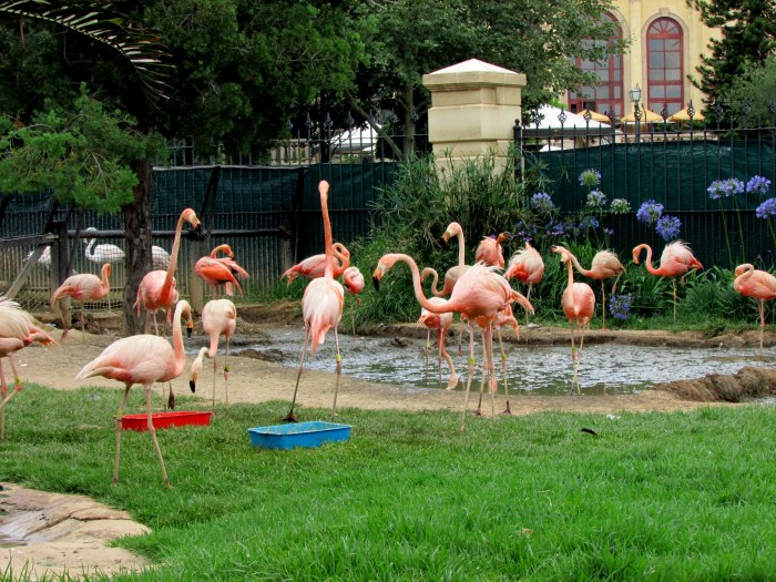 Pretty pink Flamingoes gathered around their pond.