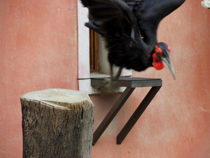 The African Ground Hornbill in flight.