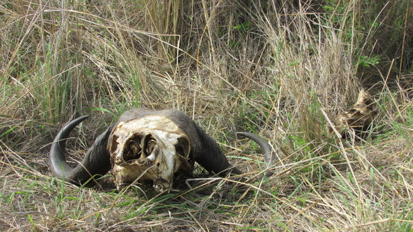 This buffalo skull was strategically placed on the side of the road. Was a really awesome spot, you don't see one of these everyday.
