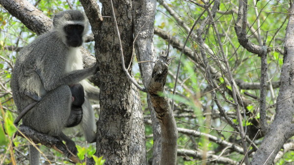 I don't like monkeys, but I really like this photo of the Vervet Monkey mom sitting in the tree with her baby wrapped around her.