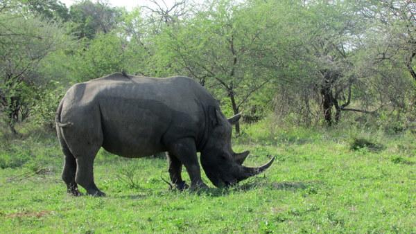 White Rhino, so beautiful.