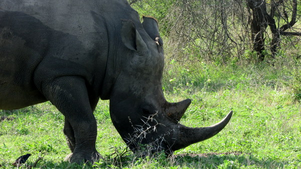 Everytime we saw a rhino I couldn't help but think it may be the last rhino that I ever see in the wild. Sad.