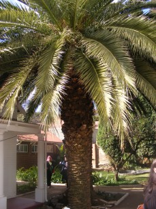 Palm trees outside houses