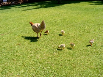 Irene Chickens