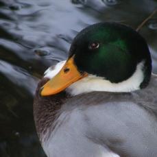 Irene duck