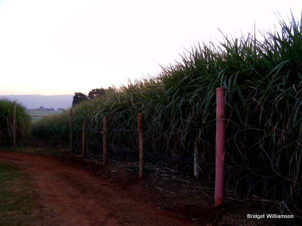 The festival is set right next to sugarcane fields. True Swaziland.